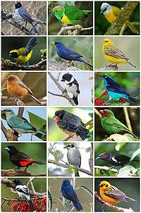 Thraupidae Diversity.jpg