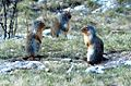 Three ground squirrels.jpg