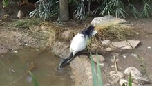 File:Threskiornis molucca drinking water - World of Birds, Cape Town.ogv