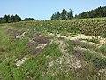 Thymus pulegioides subsp. pulegioides sl21.jpg