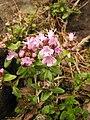 Thymus quinquecostatus 1.JPG