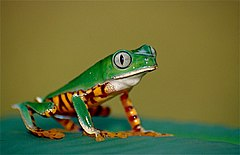 Tiger-striped Leaf Frog (Phyllomedusa tomopterna) (10377591806).jpg