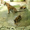 Tiger Family - panoramio.jpg