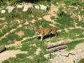 Tigre Citadelle Besancon.JPG