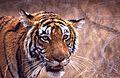 Tigress (Panthera tigris) (19777088686) (2).jpg
