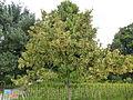 Tilia henryana-Jardin des Plantes 01.JPG