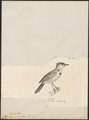 Timalia melanothorax - 1700-1880 - Print - Iconographia Zoologica - Special Collections University of Amsterdam - UBA01 IZ16500027.tif