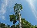 Timbangan (Artocarpus tamaran) (8082540008).jpg