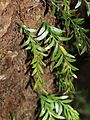 Tmesipteris parva Mount Dromedary southern New South Wales.JPG