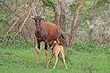Topi (Damaliscus lunatus jimela) calf suckling.jpg