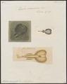 Torpedo marmorata - 1700-1880 - Print - Iconographia Zoologica - Special Collections University of Amsterdam - UBA01 IZ14200037.tif