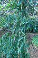 Torreya californica kz1.jpg