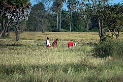 Traditional Rice Harvesting in Kampong Chhnang