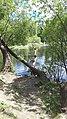 Tree Dwelling Ducks.jpg