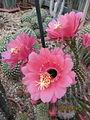 Trichocereus (Echinopsis) (3753598044).jpg
