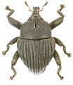 Trigonopterus tridentatus holotype - ZooKeys-280-001-g092.jpg