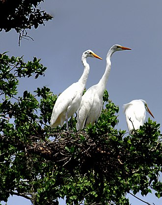 Audubon Park (New Orleans) - Trio of great egrets at Ochsner Island Rookery in Audubon Park.
