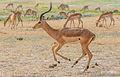 Trotting impala ram.jpg