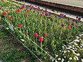 Tulip flowers in Ohori Park.JPG