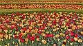 Tulips -- ChIcago (IL) Botanic Garden April 2012 (7146888423).jpg