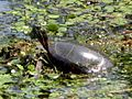 Turtle takes in some sun! (4642712115).jpg