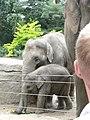 Two Elephas maximus babies.JPG