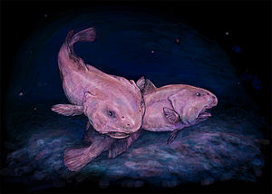 Blobfish - Artist's impression of two blobfish in situ