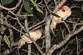 Two chicken in a tree Sri Lanka.jpg