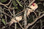 Two chicken in a tree Sri Lanka.jpg