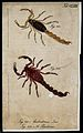 Two scorpions; Androctonus iros and Androctonus pandarus. Co Wellcome V0022410ER.jpg