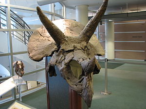 Triceratops skull on display at the University...