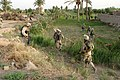 US Navy 050602-M-3301A-003 Marines of Sixth Marine Regiment, First Battalion, Charlie Company patrol the fields in the area of Asragiyah searching for weapons, caches, and insurgency.jpg