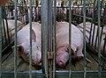 Undercover Investigation at Manitoba Pork Factory Farm (8250109079).jpg