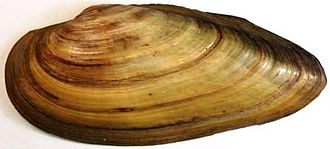 Unio (bivalve) - A shell of Unio pictorum (Painter's mussel), anterior end towards the left