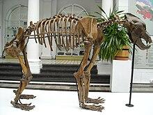 220px-Ursus_spelaeus_skeleton dans OURS