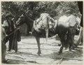 Vår präktige peon Antonio leder en mula på vilken en av författaren skjuten alligator är lastad - SMVK - 0702.0069.tif