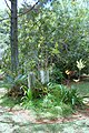 Vanilla plantation, Mucaweng, Lifou, New Caledonia, 2007 (5).JPG