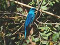 Verditer flycatcher adult 2 10x7.jpg