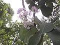 Vernonia arborea-1-bsi-yercaud-salem-India.JPG