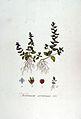 Veronica arvensis — Flora Batava — Volume v7.jpg