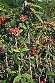 Viburnum x rhytidophylloides Willowwood 2zz.jpg