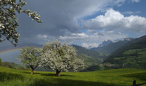Blooming apple trees (Malus domestica) in Viersch South Tyrol - Protected natural monumets