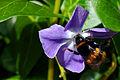 Vinca major with bee.jpg