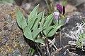 Viola trinervata 7808.JPG
