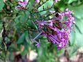 Violette Blüte 2016.jpg