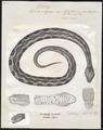 Vipera elegans - 1700-1880 - Print - Iconographia Zoologica - Special Collections University of Amsterdam - UBA01 IZ11700129.tif
