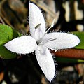 Virginia buttonweed (Diodia virginiana) (7764175518).jpg