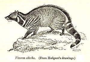 Large Indian civet - Viverra zibetha from Hodgson's drawings