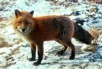 Vörös róka téli bundájában