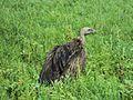 Vulture in Terai Nepal.jpg